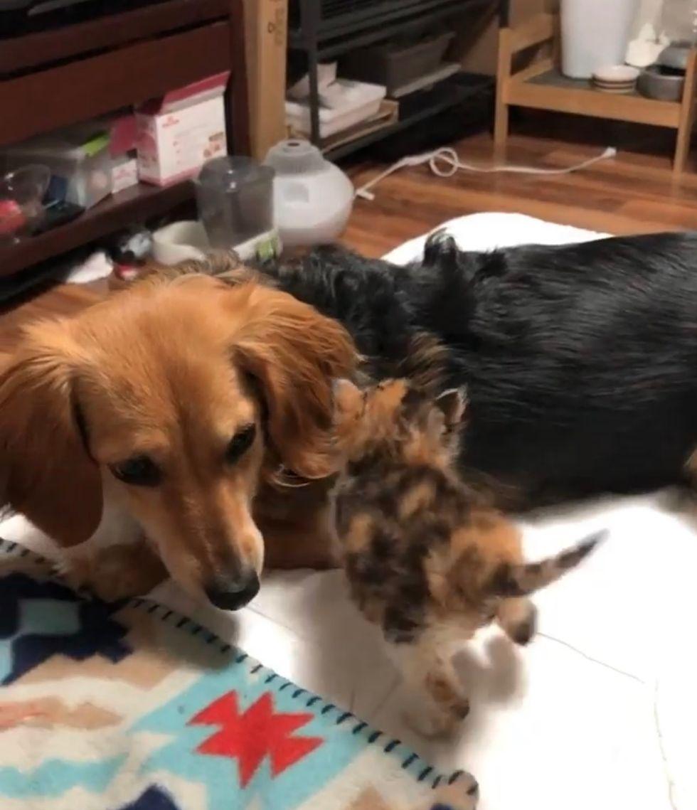 kitten, dog, cute
