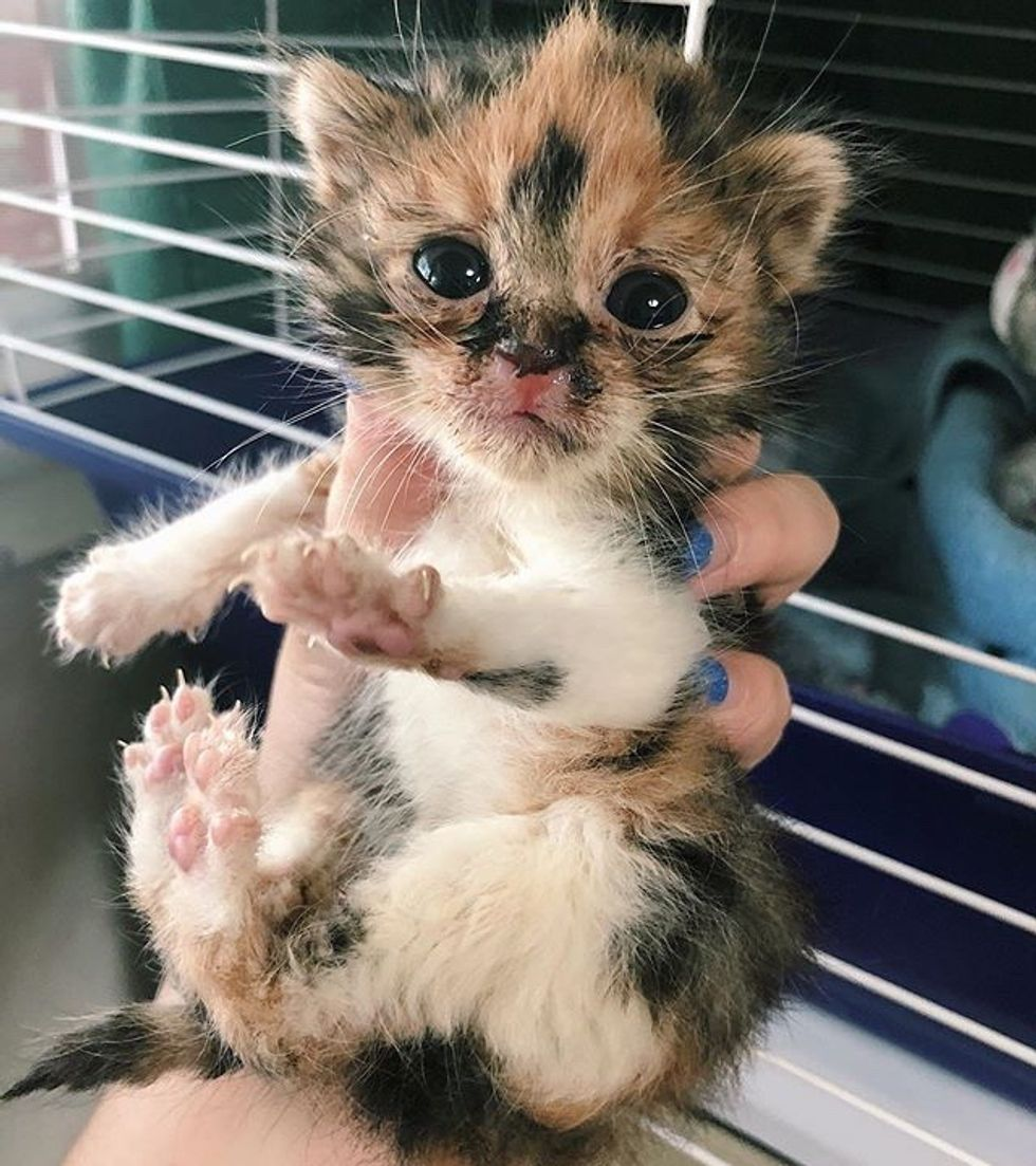 cute, kitten, calico