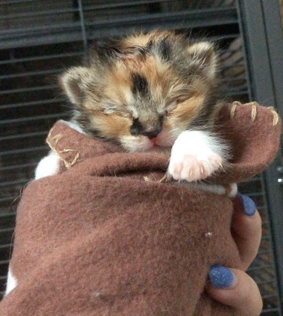 calico, kitten, purrito, rescue