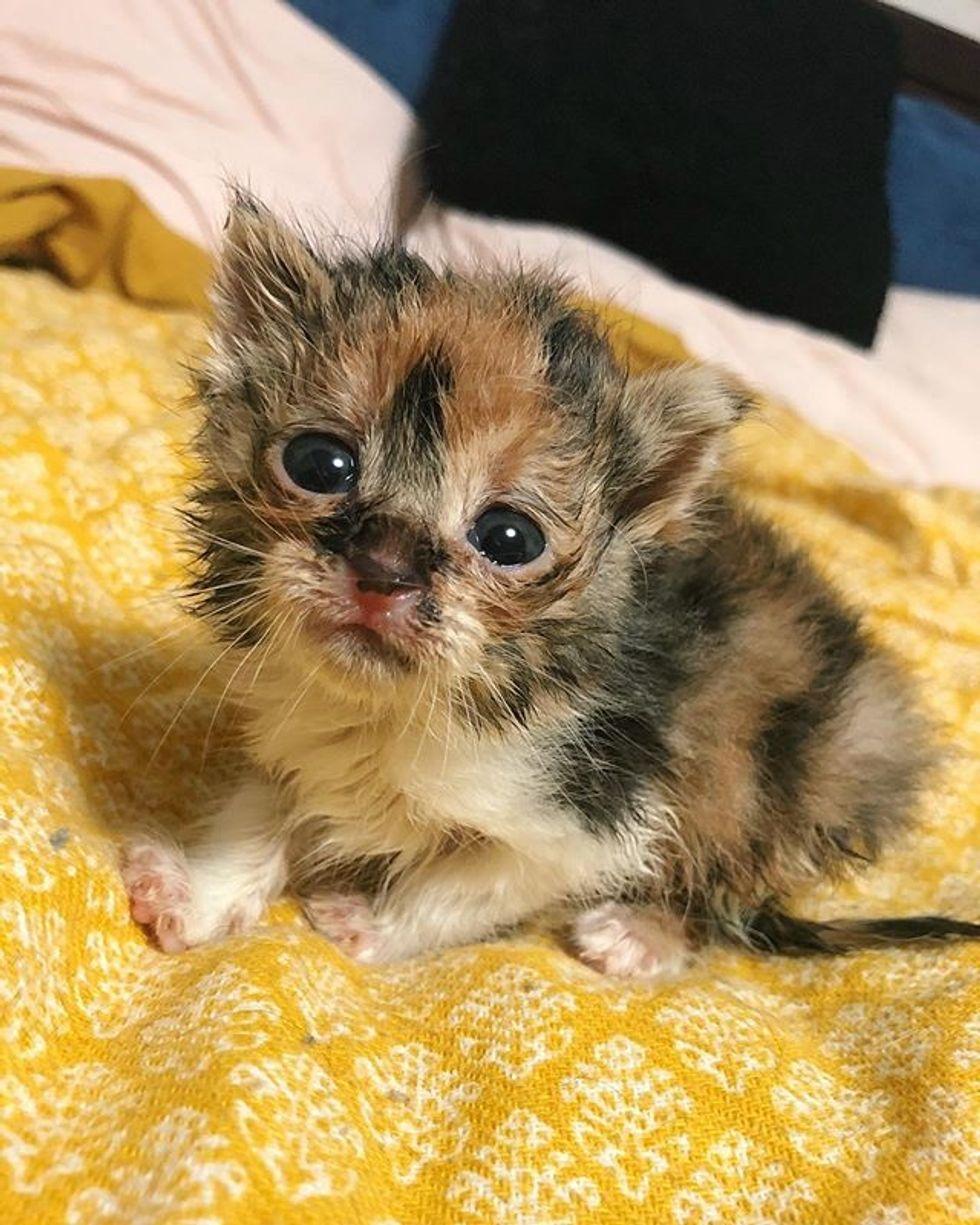 calico, kitten, cute