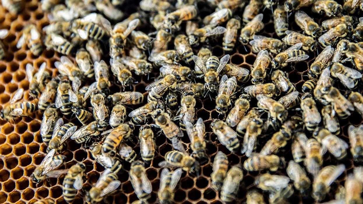 Deadly Pathogen Alters Honey Bee Behavior to Gain Access to Foreign Hives, Researchers Find