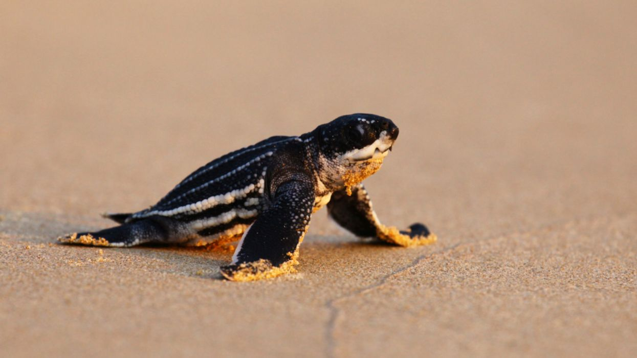 Deserted Thai Beaches Lure Rare Turtles to Build Most Nests in 20 Years