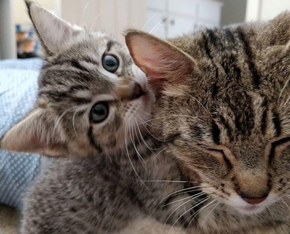 kitten, tabby, cat, hug