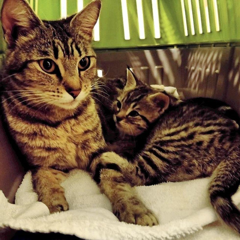 cute, kitten, cat, tabby, mom