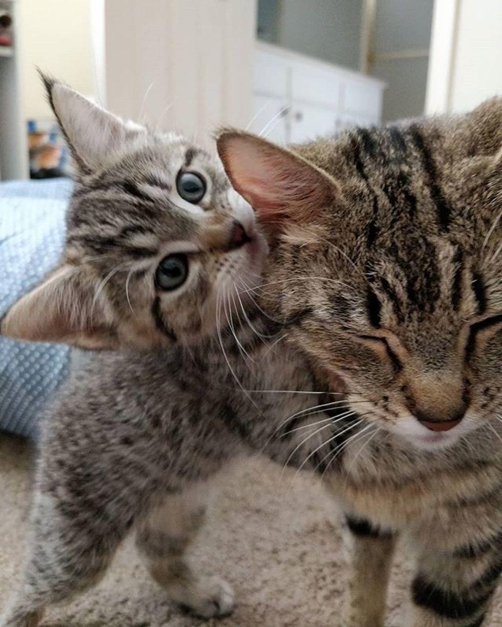 cute, cat, kitten, tabby, hug