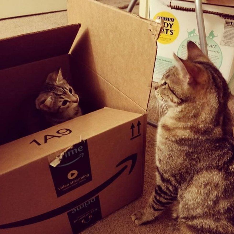 cute, cat, kitten, tabby, boxes