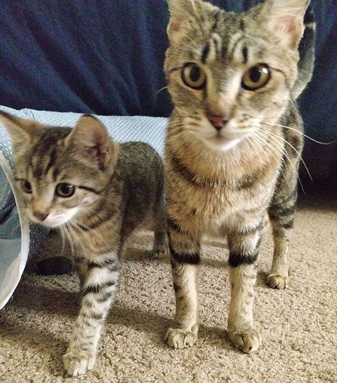 cute, cat, kitten, tabby