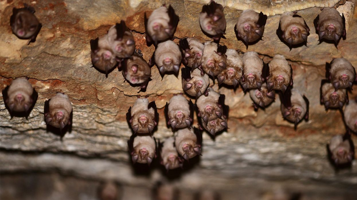 Speak Up for Bats — Even in the Pandemic
