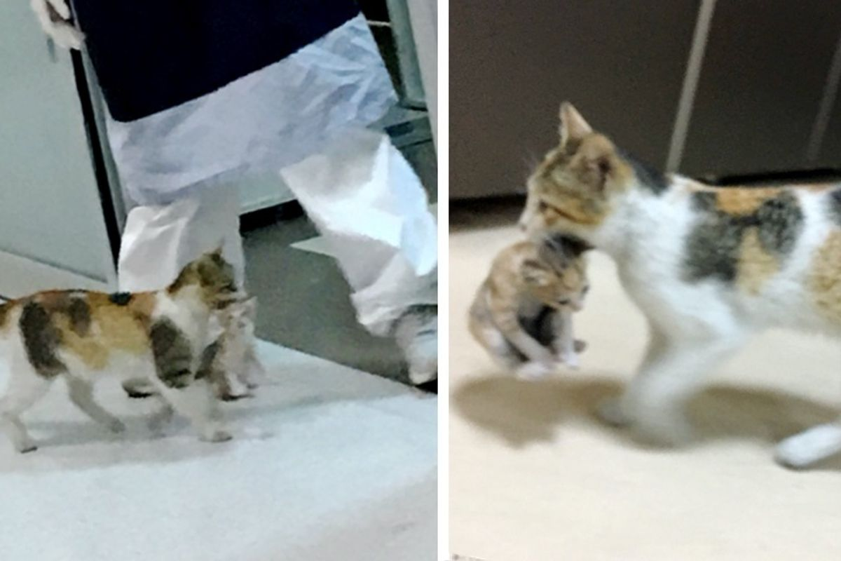 Stray Cat Barges into ER and Carries Her Kitten to Staff for Help