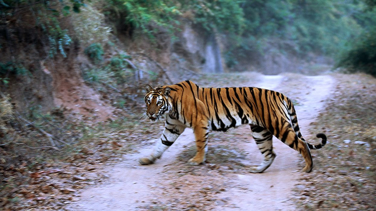 Endangered Tigers Face Growing Threats From an Asian Road-Building Boom