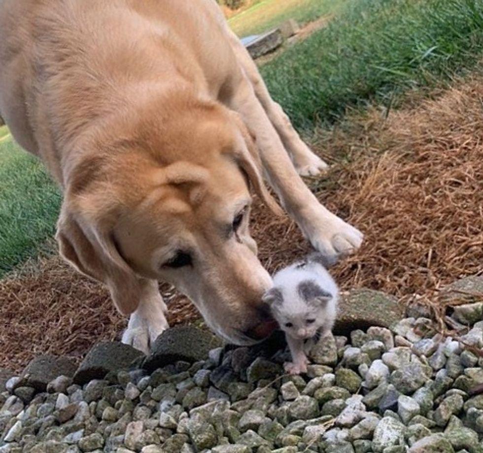 cute, kitten, dog, labrador