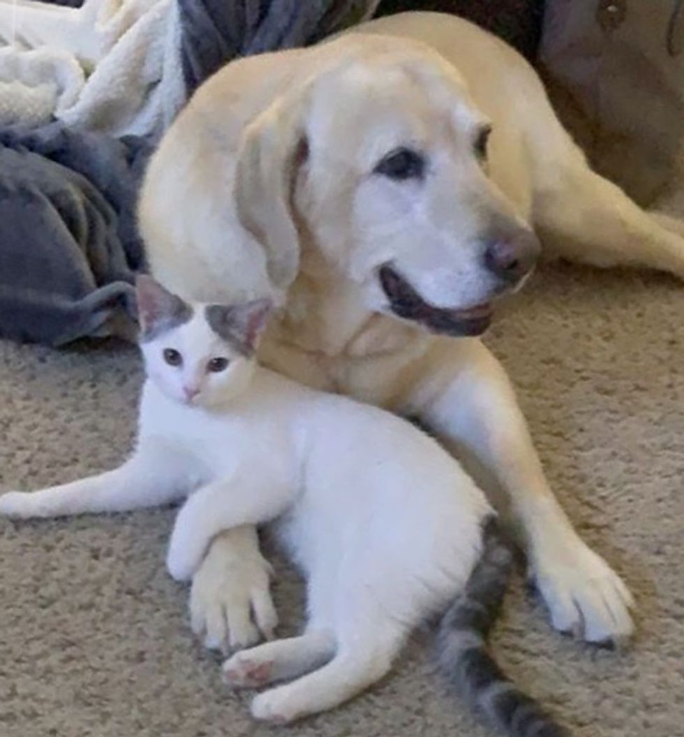 cute, kitten, dog, Labrador, cat, cuddle