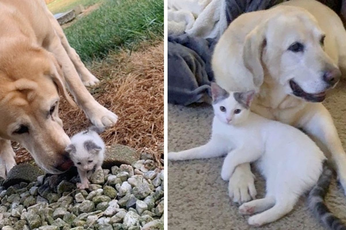 Dog Takes Stray Kitten Under His Wing and Raises Her into Beautiful Cat