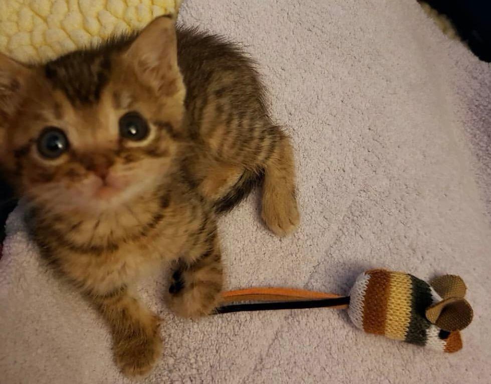 tabby, cute, kitten, tiny