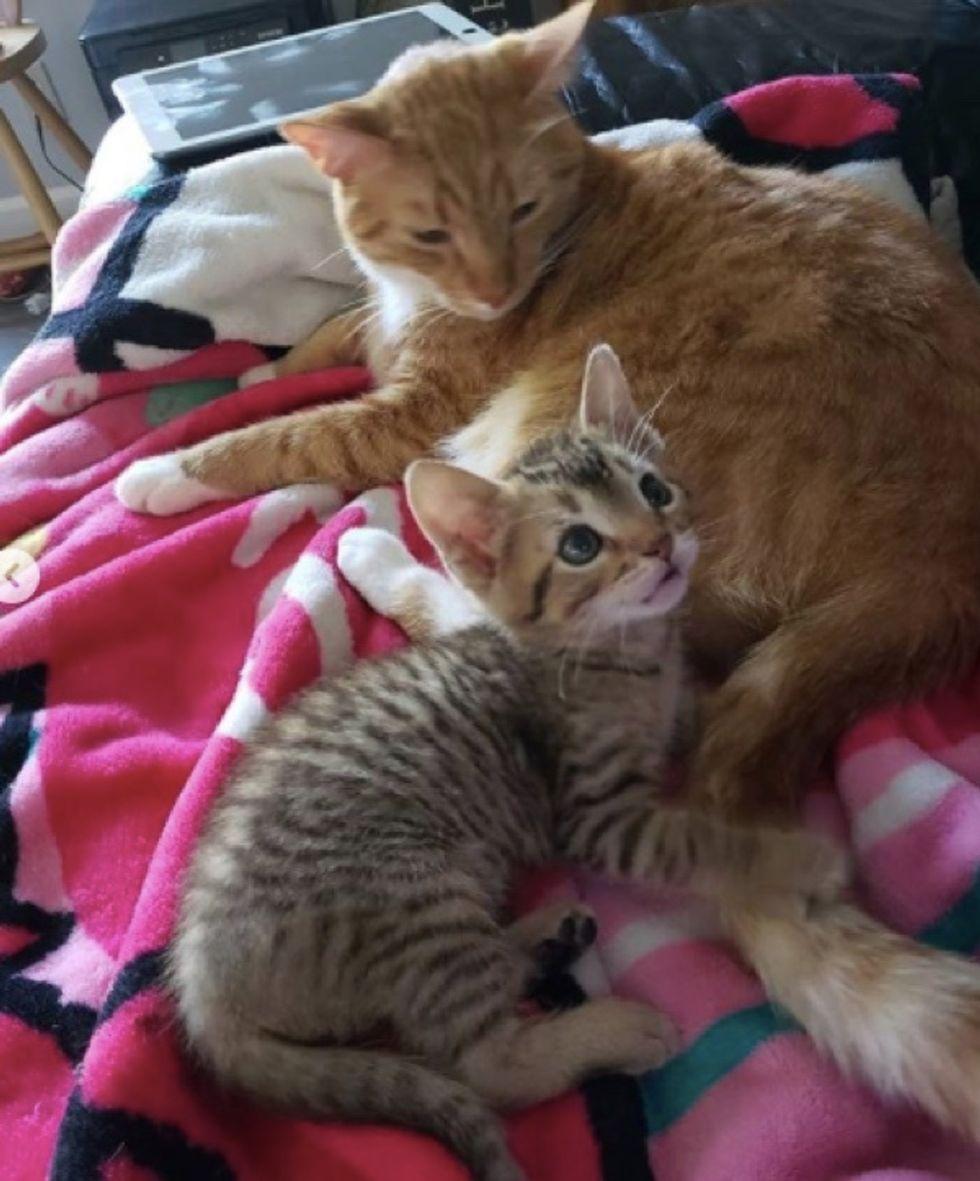 tabby, cute, kitten, cat