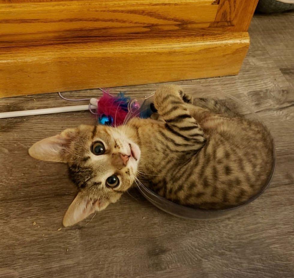 tabby, cute, kitten, tiny, bowl