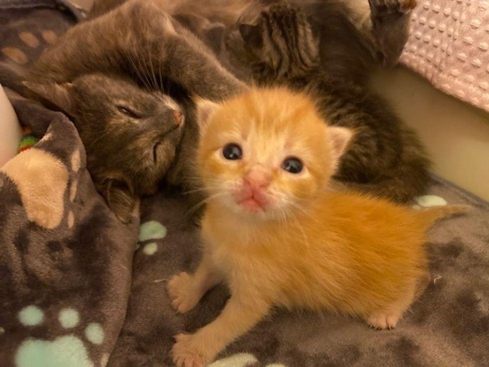 cat, mom, kitten, ginger