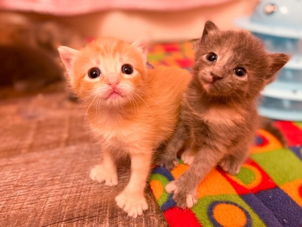 polydactyl, toes, kitten, cute