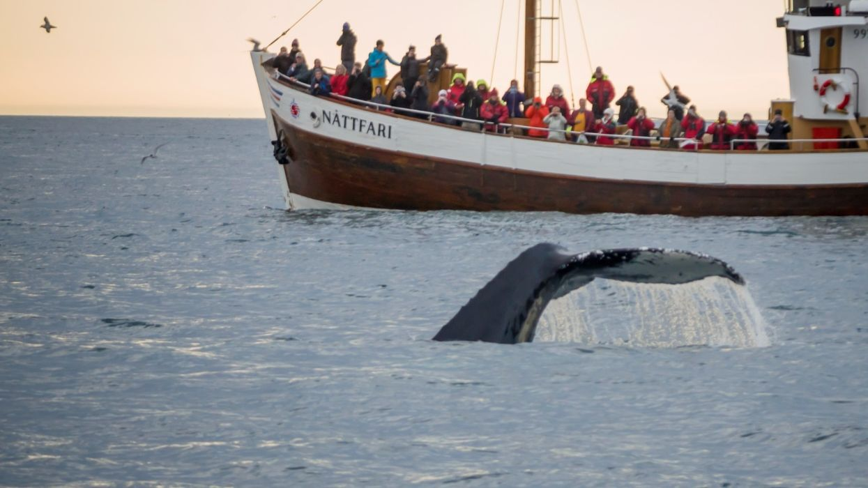 Whale-watching is now bigger than whaling in Iceland