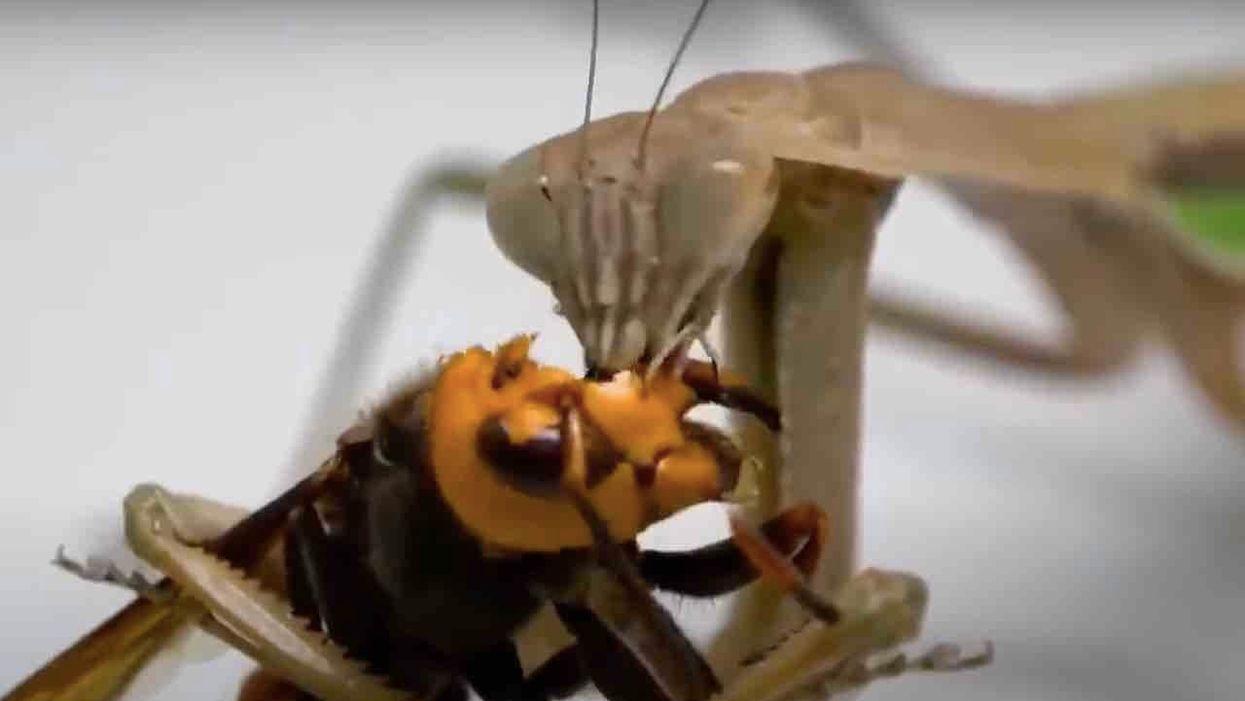 praying mantis bite look like