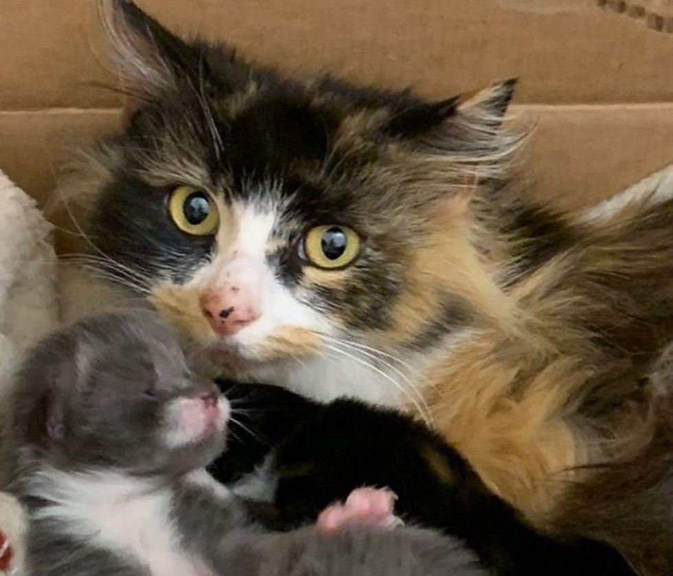 calico, cat, kitten, mom