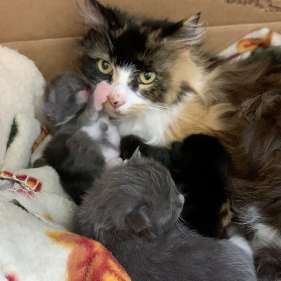 calico, cat, kittens