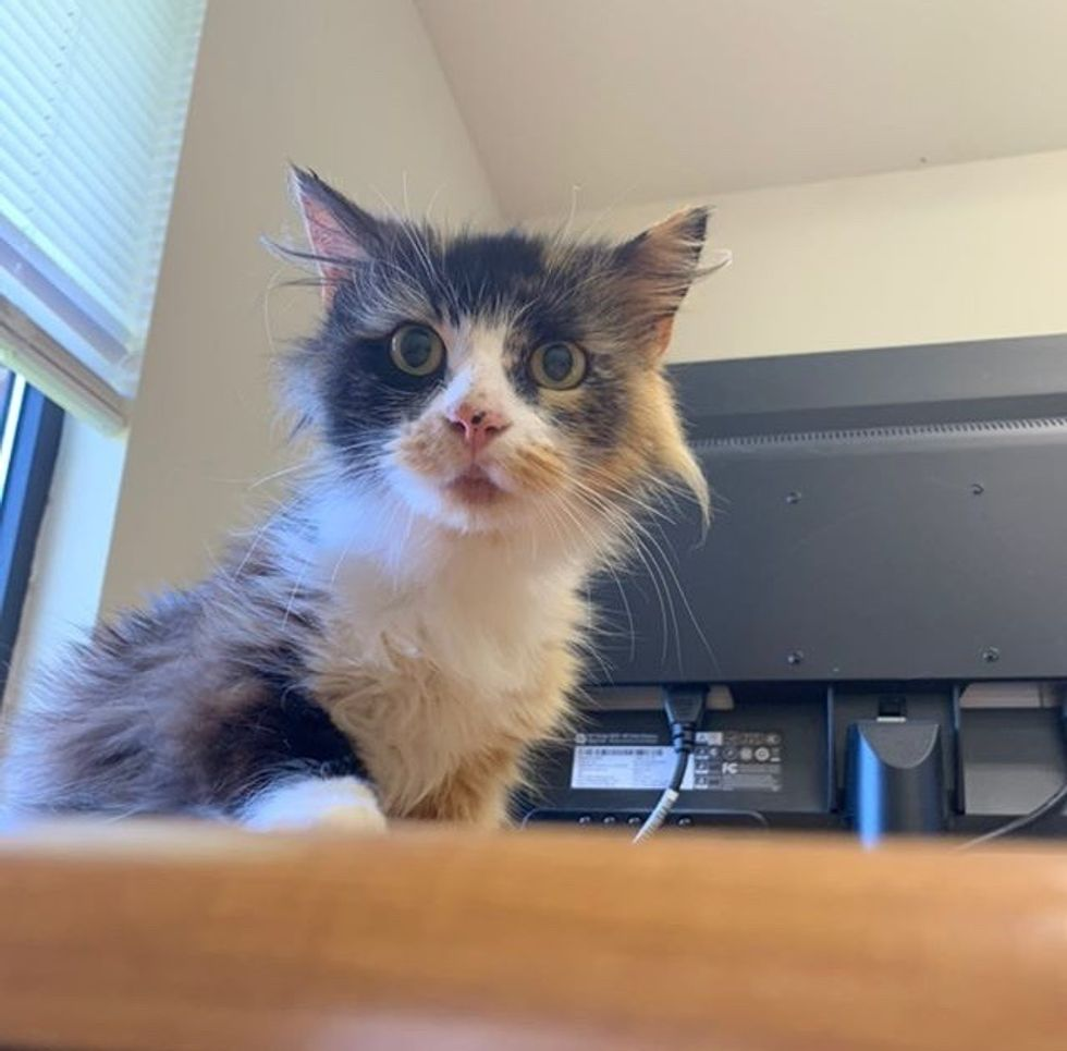 calico, cat, cute