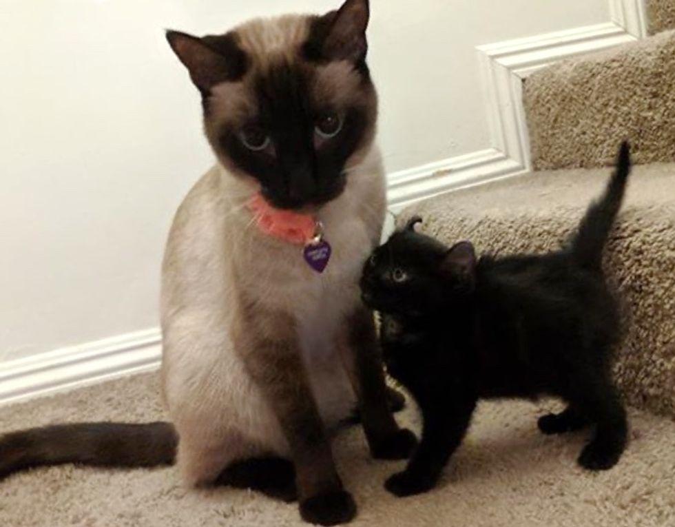 cat, siamese, kitten, curly ears