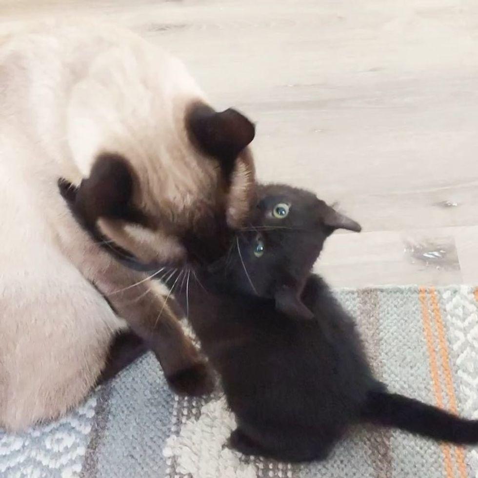cute, kitten, hug, cat