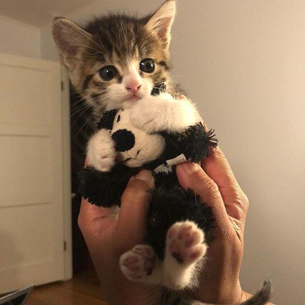 tabby, kitten, hug, toy