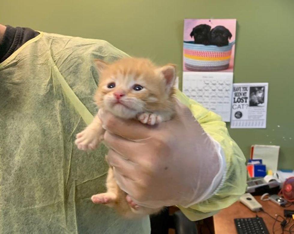 tiny, ginger, kitten, rescue