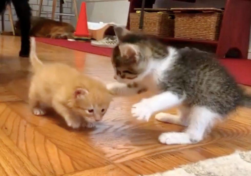 cute, kittens, ginger, tabby