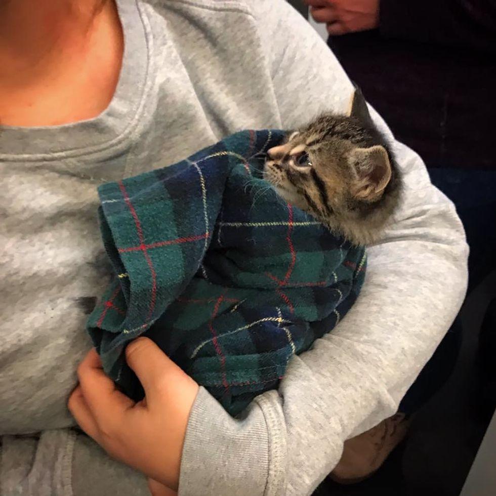 kitten, tabby, cuddle, purrito
