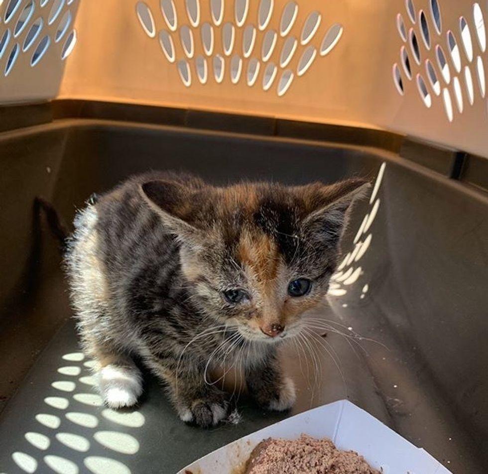 calico, stray, kitten, rescue