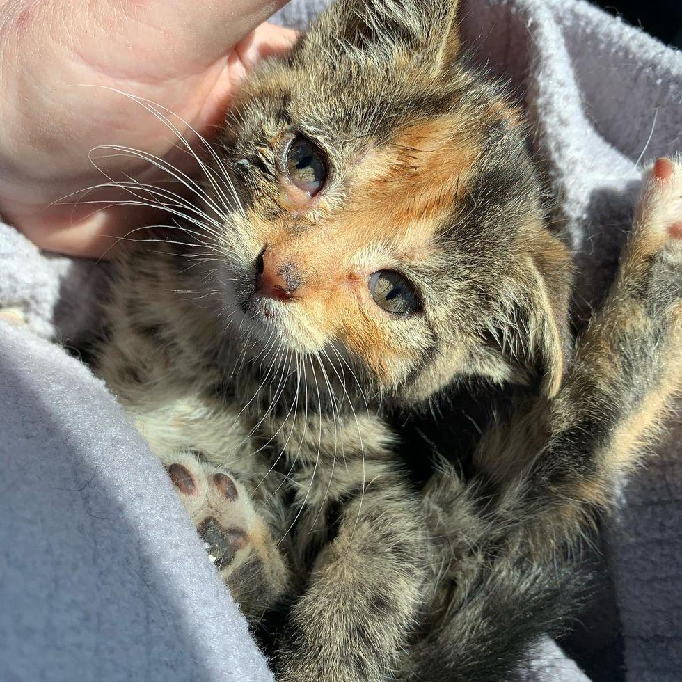 cute, kitten, calico, cuddle