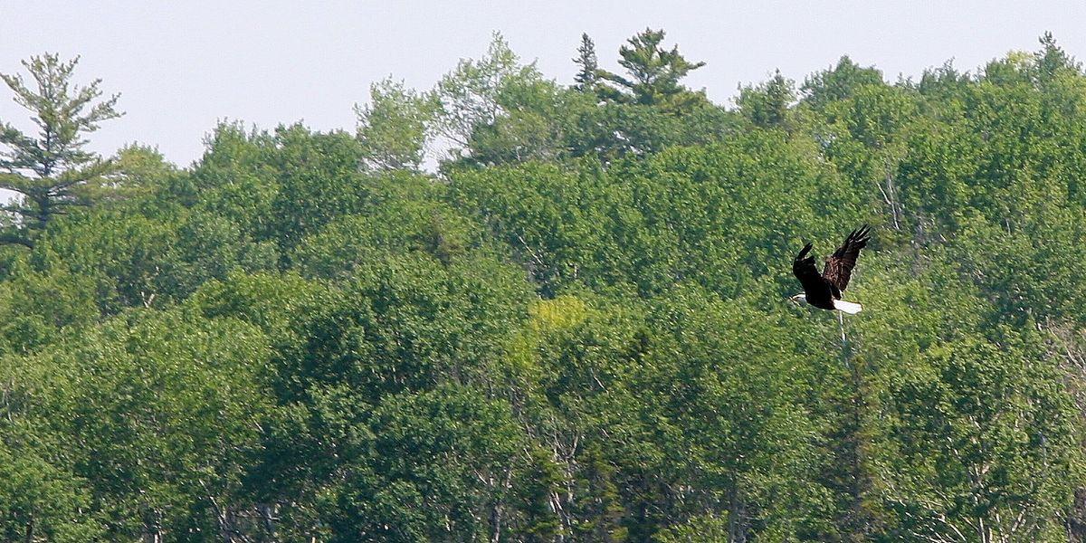 Michigan's bald eagles full of flame retardants