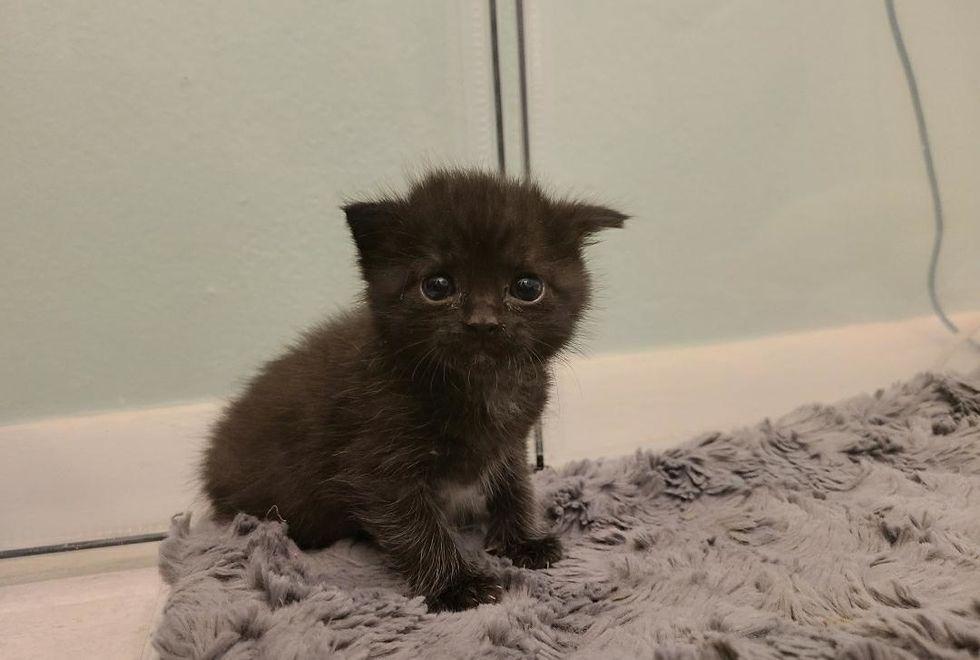 cute, kitten, floppy ear