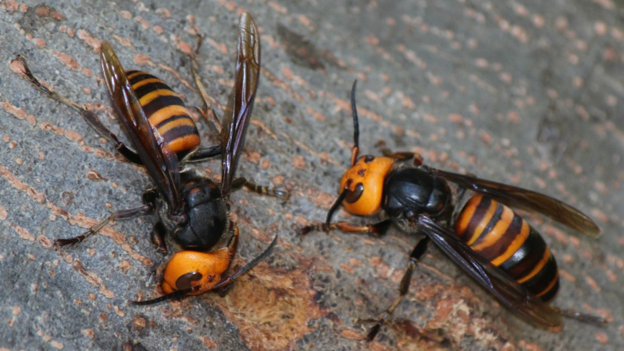 What Are Asian Giant Hornets, and Are They Really Dangerous?