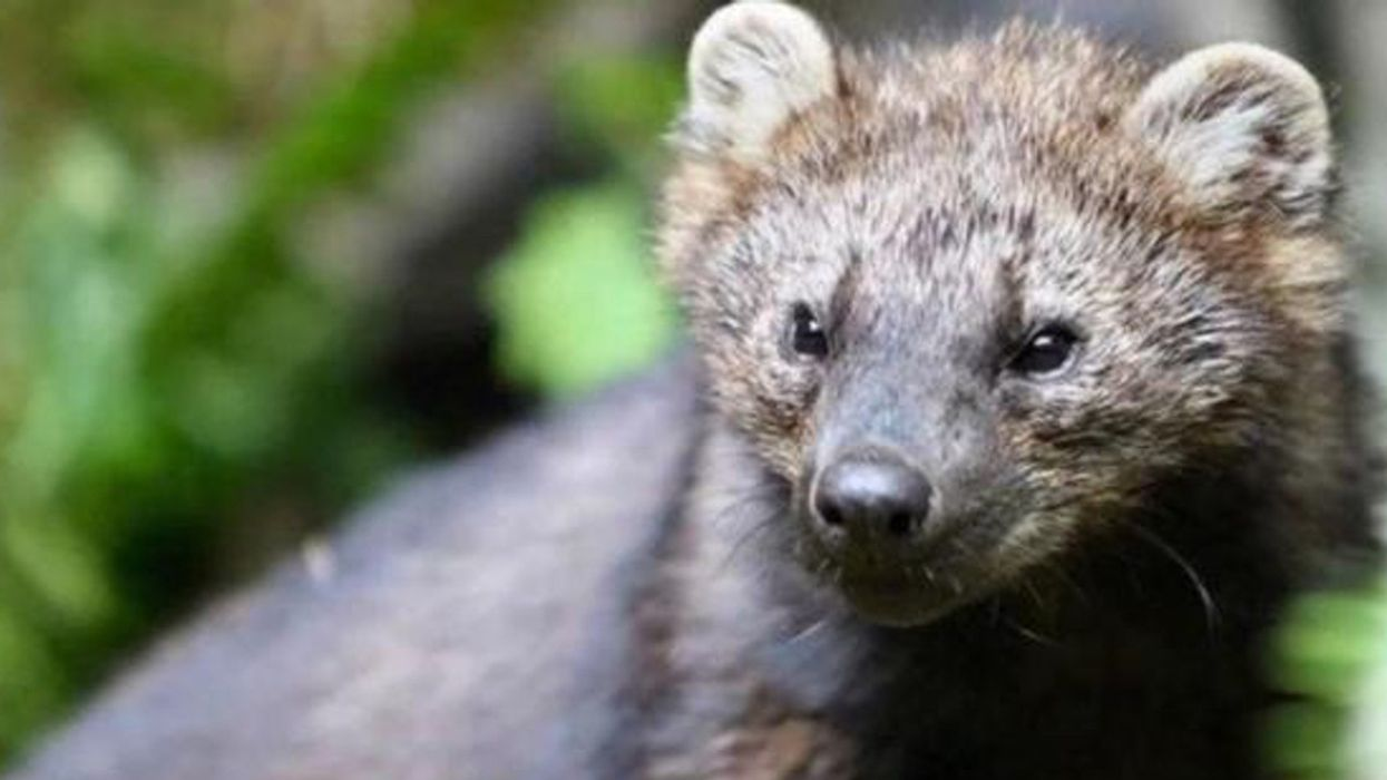 Trump Admin Denies Endangered Species Protections to Pacific Fishers Across Most of Their Range