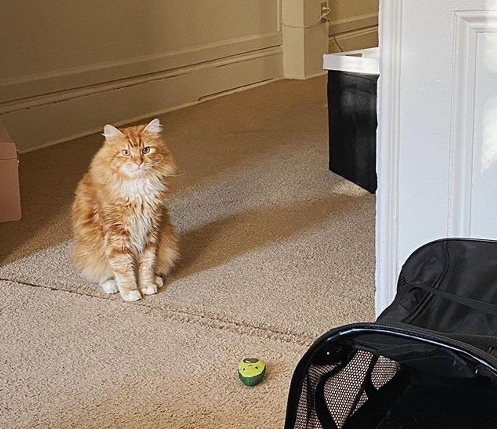 cute, cat, ginger