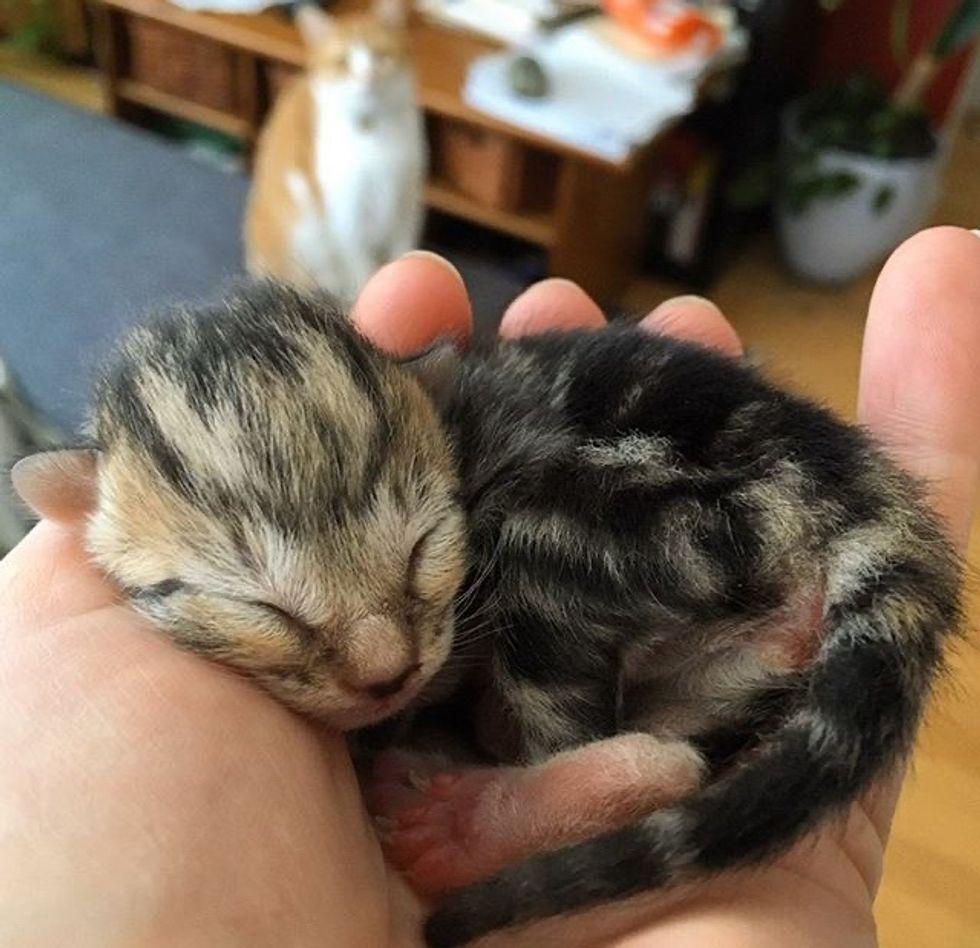 cute, kitten, palm-sized, newborn, tabby