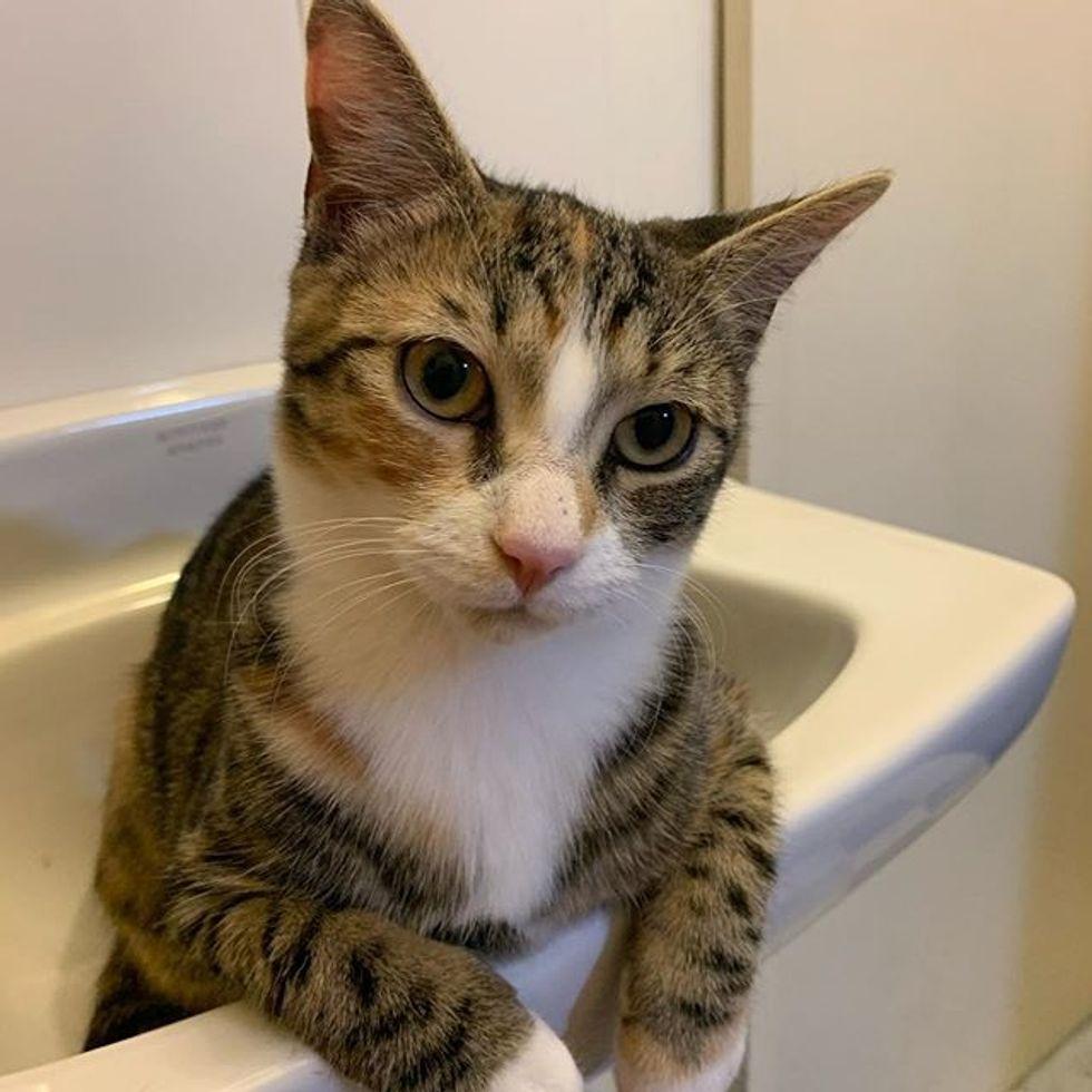cute, sink cat, tabby
