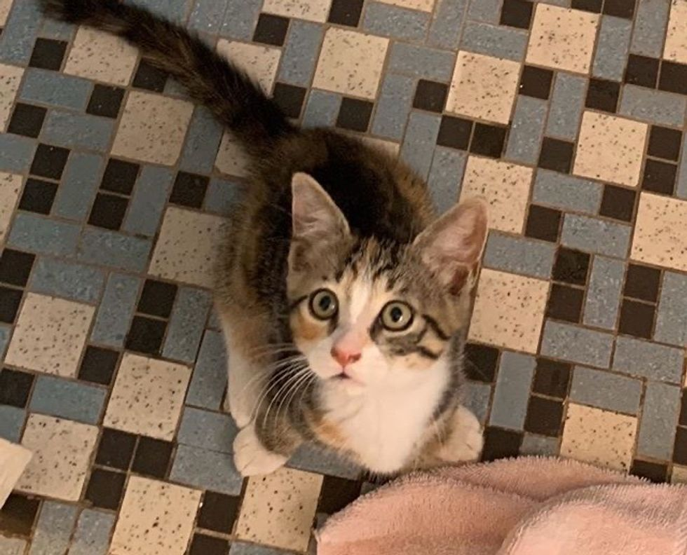 cute, kitten, torbie