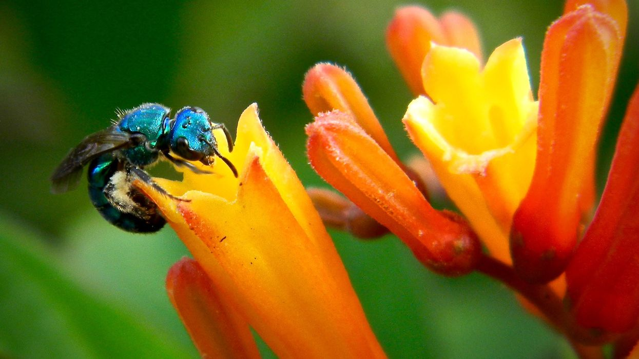 Scientists Spot 'Ultra-Rare' Blue Bee Feared Extinct
