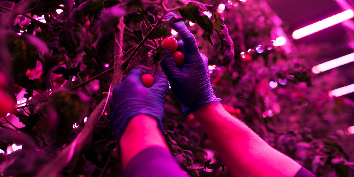 The Guggenheim Museum Is Producing Tomatoes for City Harvest - PAPER