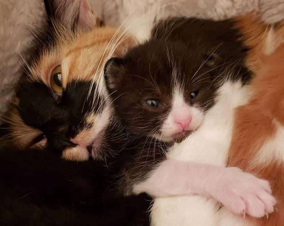 cute, kitten, cuddle, calico, mom