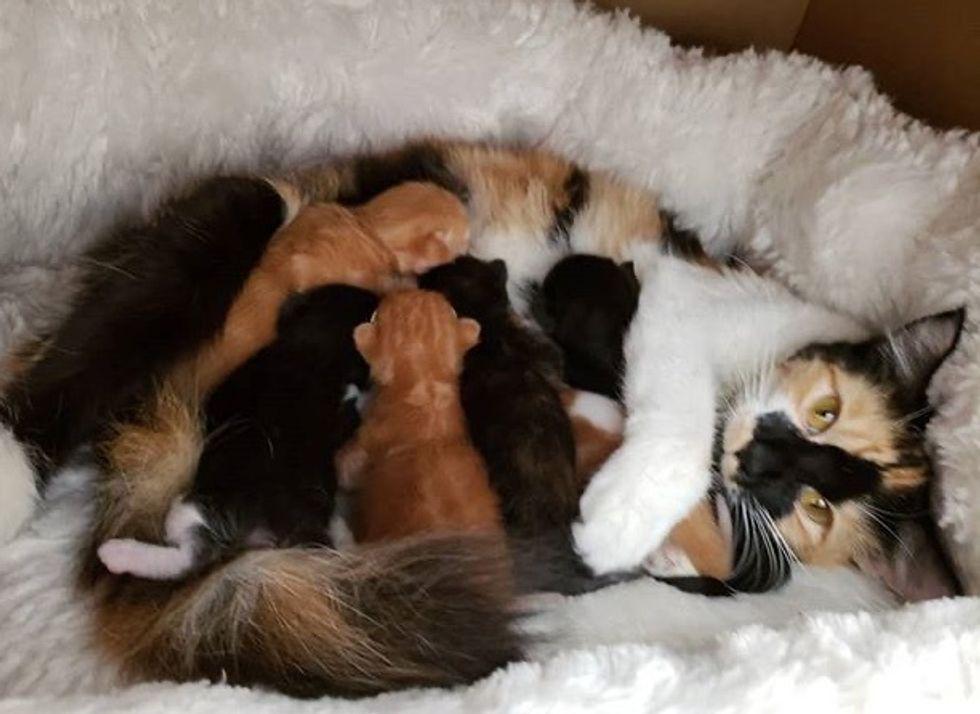 cute, kitten, cuddle, calico, mom, nursing