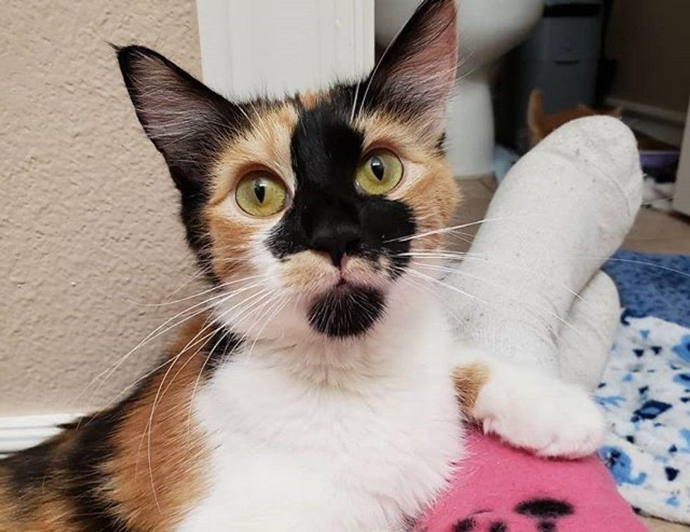 cute, cat, calico, lap cat