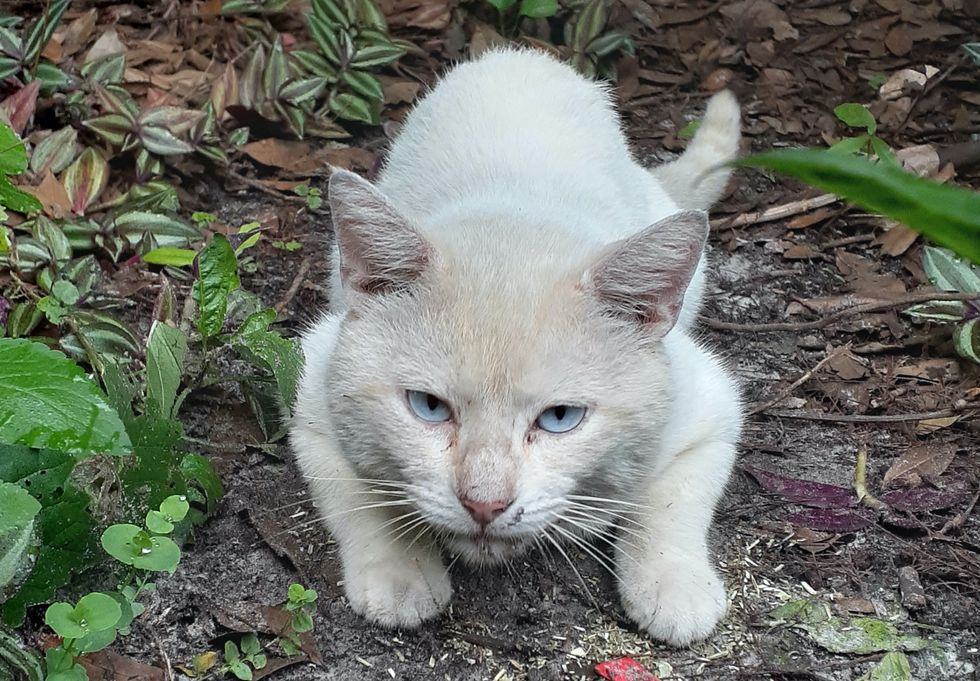 cute, cat, stray, blue-eyed