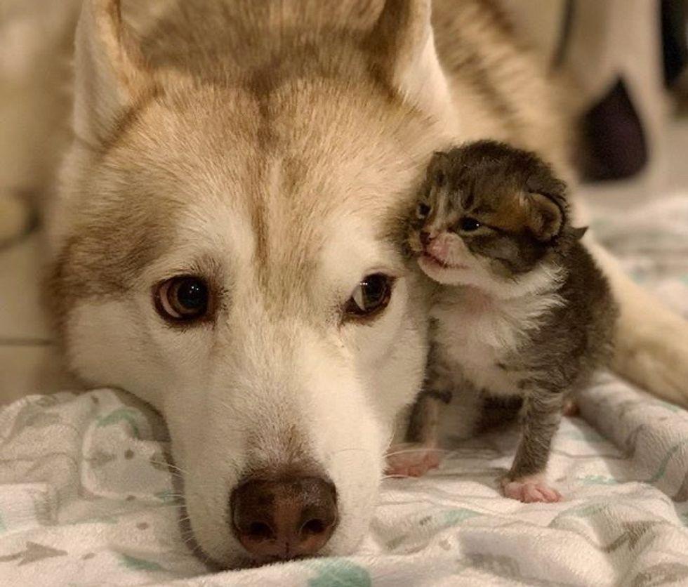 cute, kitten, husky, dog